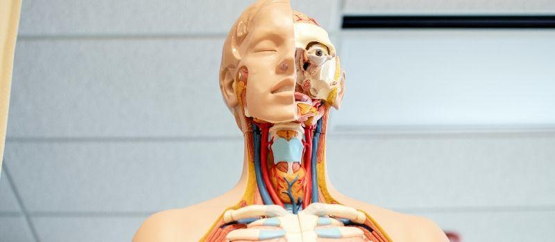 Model ludzkiego ciała